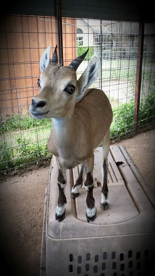 Alpine and Nubian Ibex for sale