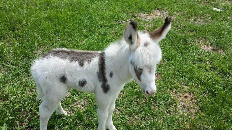 Spotted mini donkey fore sale