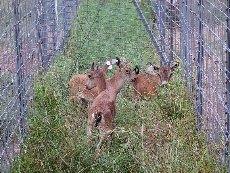 Nubian Ibex Goats for sale at Double C Exotics