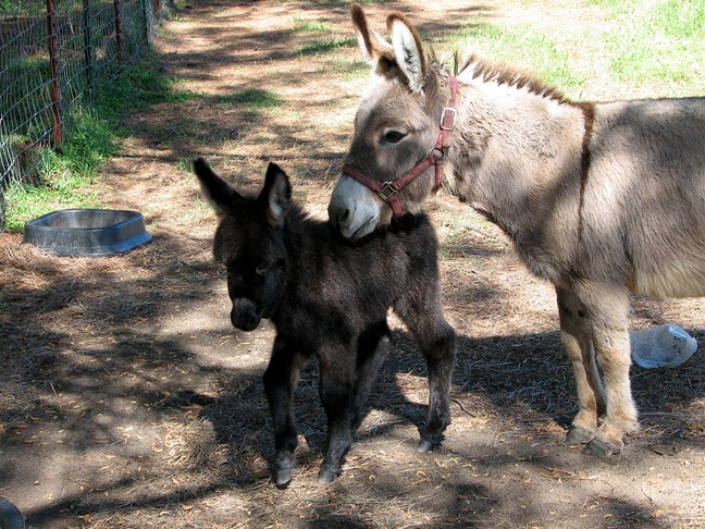 Baby miniature donkey for sale in south east Oklahoma