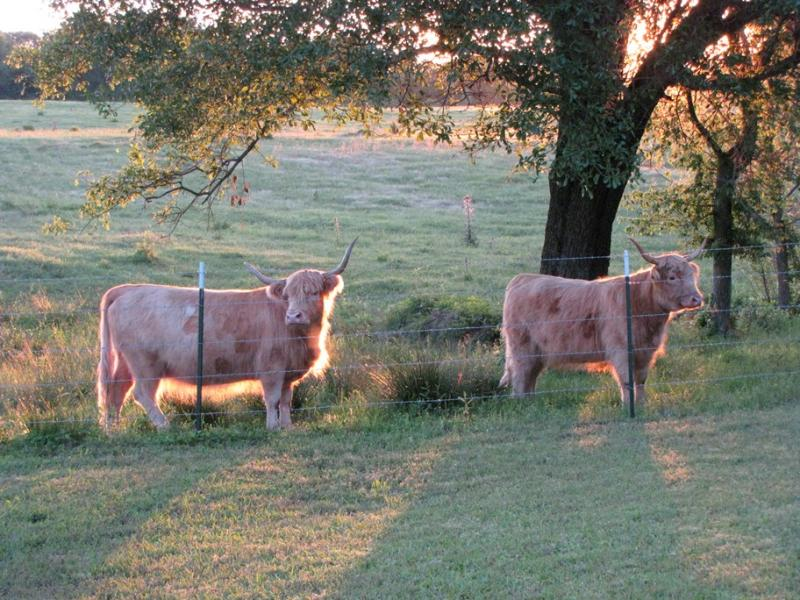 Scottish Highlands cows for sale in S.E. Oklahoma at Double C Exotics