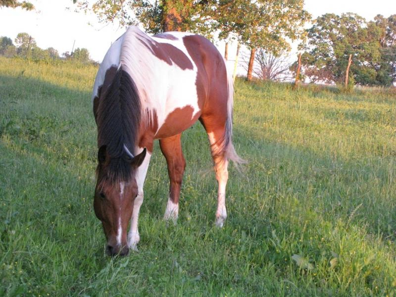 Paint horse for sale in S.E Oklahoma at Double C Exotics
