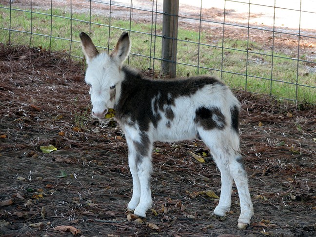 Spotted miniature donkey jack for sale