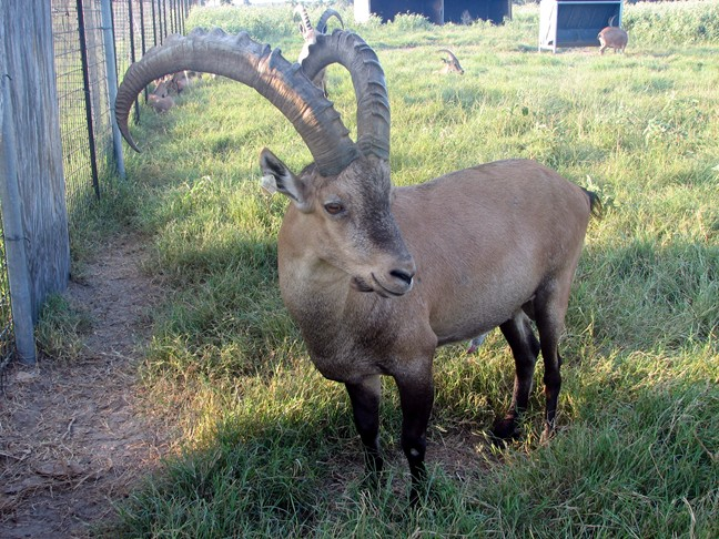 Alpine Ibex breeder buck at Double C Exotics