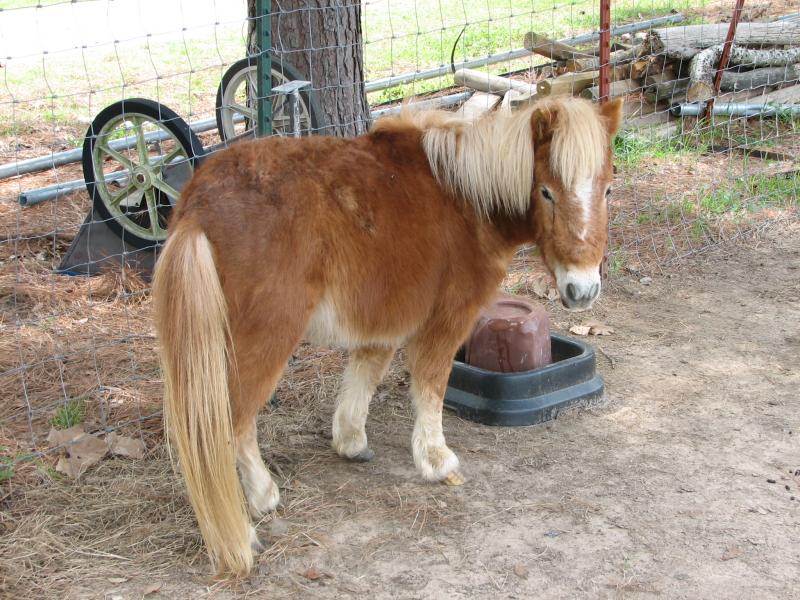 Mini Pony for sale