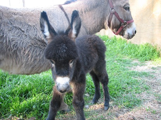 Registered Miniature Donkey for Sale