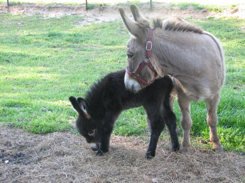 Black Miniature Donkey foal for sale.