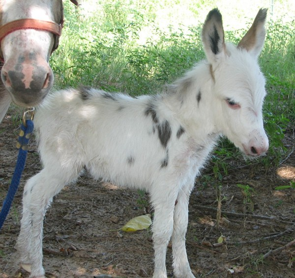 Baby miniature donkey for sale